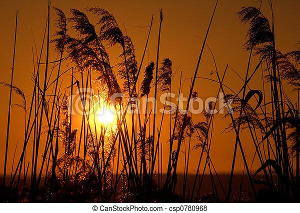 Reeds in the sun - csp0780968