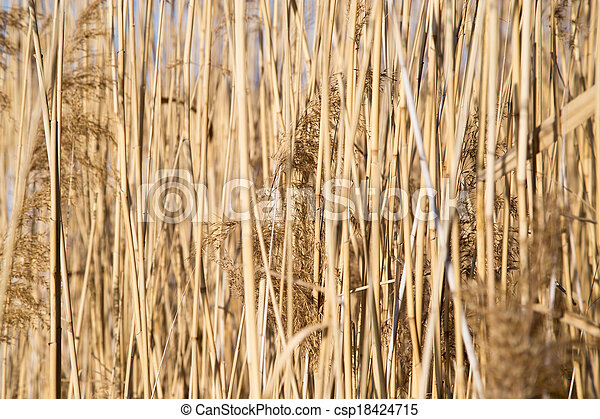 reeds on the lake in winter - csp18424715
