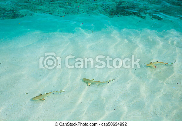 reef shark swimming in crystal clear shallow water, Maldives