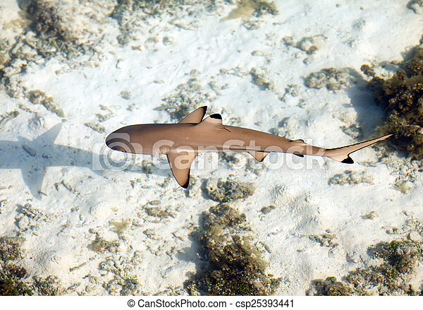 Reef shark , the top view through crystal-clear water - csp25393441