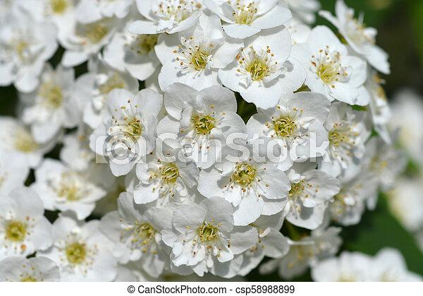Reeves spirea white flowers latin name spiraea cantoniensis lour mightylinksfo
