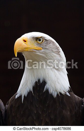 regal bald eagle portrait a regal looking bald eagle with