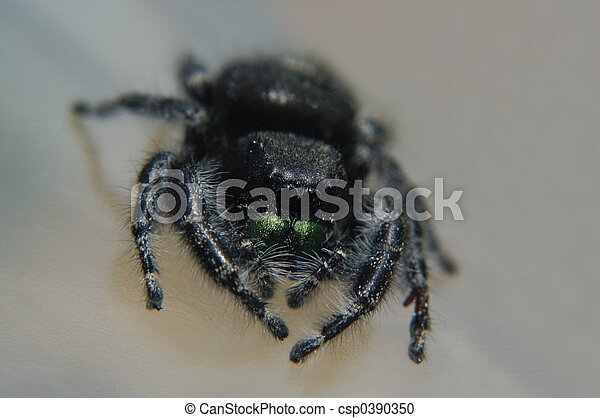 Regal jumping spider - csp0390350