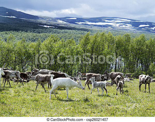 reindeers on the meadow near a forest and lake in Scandinavia - csp26021407