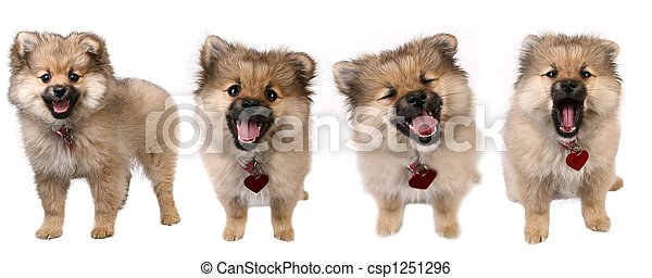reizend, posen, junger hund, 4, pomeranian - csp1251296