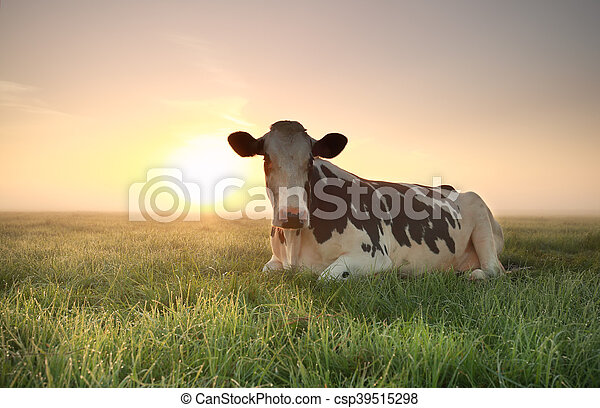 relaxed cow on pasture at sunrise - csp39515298