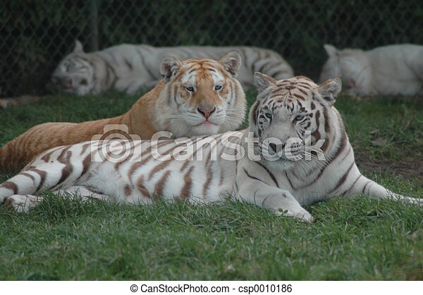 Relaxing Tigers - csp0010186