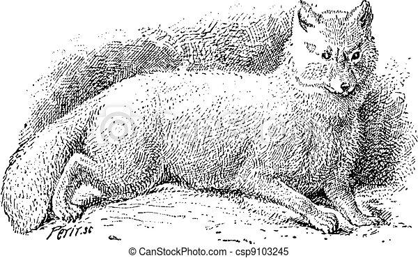 renard, lagopus), vendange, renard arctique, (vulpes, blanc, ou, engraving. - csp9103245