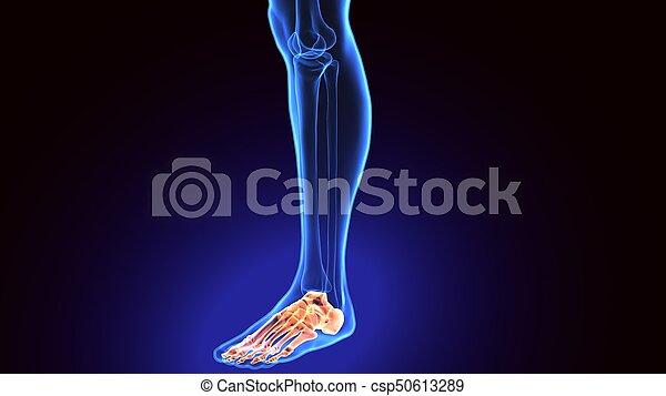 Anatomie Du Pied 3D render, illustration, anatomie, pied humain, 3d. cuboïde, anatomique