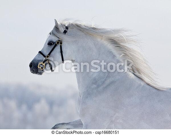 Weißes Pferd im Winter - csp16680151