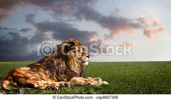 reposer, lion, puissant, sunset. - csp4607306