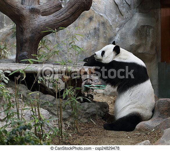 reposer, ours panda - csp24829478