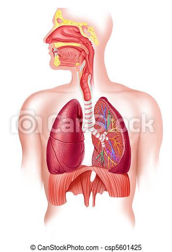respirační, část, systém, kříž, plný, lidský - csp5601425