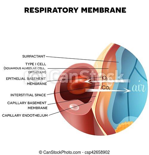 Membrana respiratoria de alveolus - csp42658902