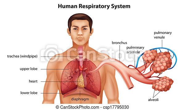 Sistema respiratorio de humanos - csp17795030