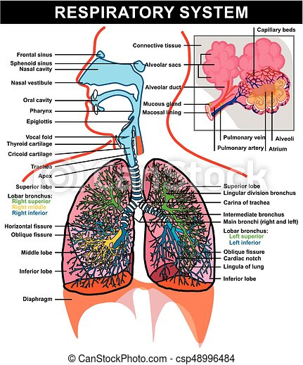 Respiratory system anatomy diagram with full details and parts for respiratory system anatomy diagram csp48996484 ccuart Choice Image
