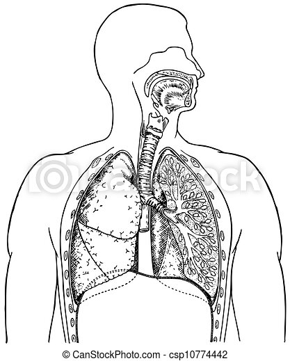 Human Respiratory System Vector Clipart Eps Images 1886 Human