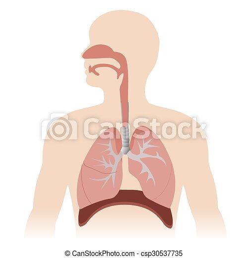 Human Respiratory System Anatomy Vector Format Illustration
