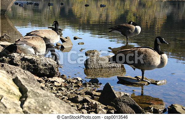 Resting birds - csp0013546