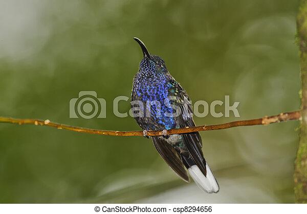 Resting Hummingbird - csp8294656