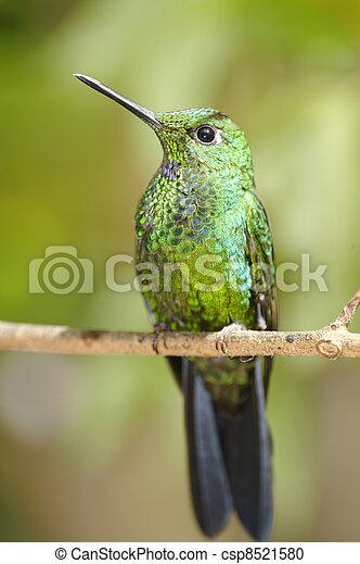 Resting Hummingbird - csp8521580