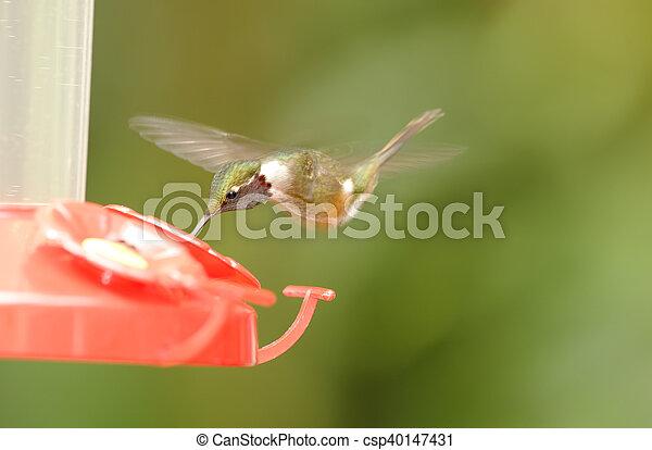 Resting Hummingbird - csp40147431