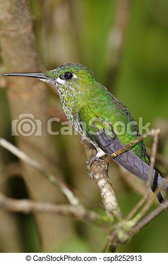 Resting Hummingbird - csp8252913
