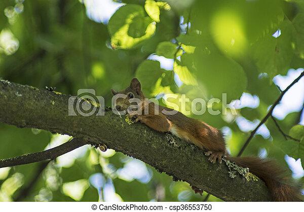 Resting squirrel - csp36553750