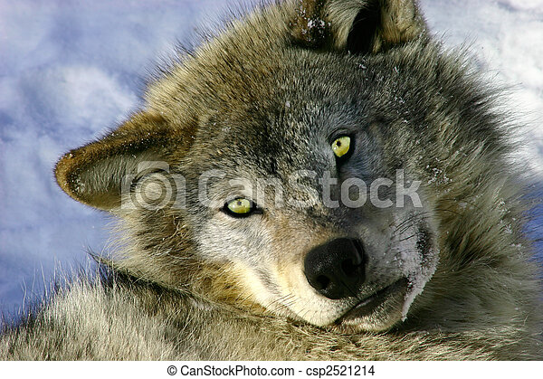 Resting Young Gray Wolf - csp2521214