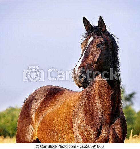 retrato, cavalo, baía - csp26591800