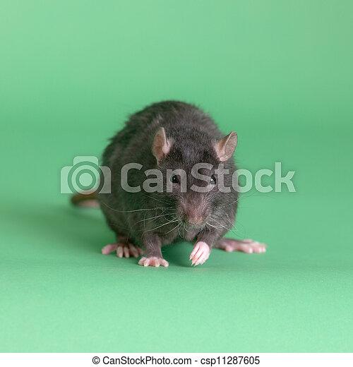 Retrato de una rata negra - csp11287605