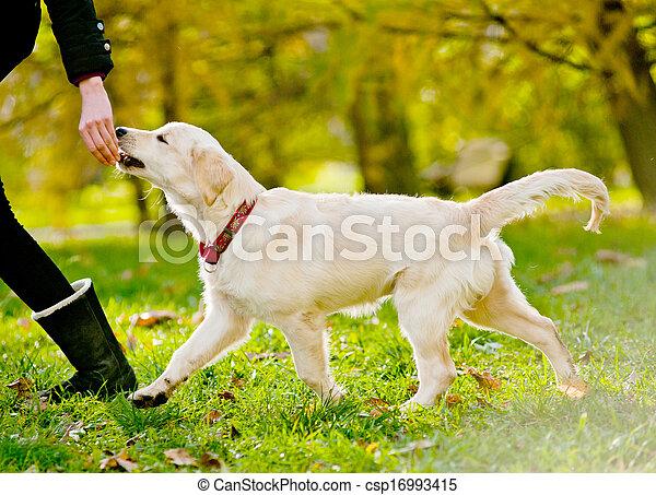 retriever puppy - csp16993415