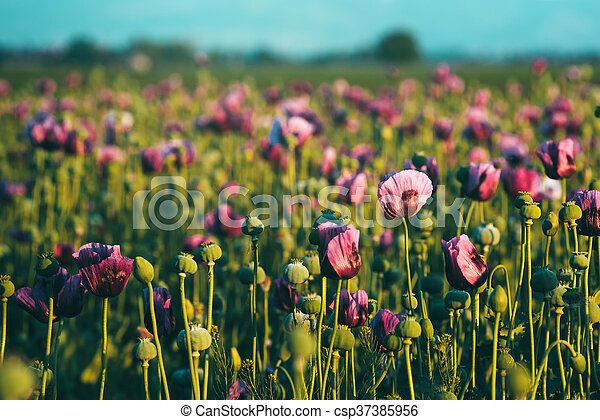 Retro toned opium poppy flower field in sunset selective focus retro toned opium poppy flower field csp37385956 mightylinksfo