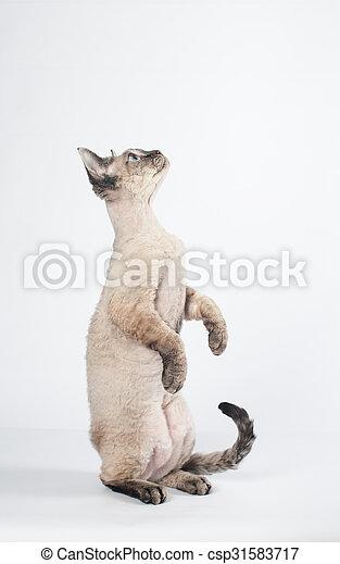 Rex Devon Białe Tło Kot Pure Bred Rex Kot Devon Tło Portret