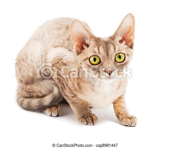 Rex Devon Kot Rex Devon Białe Tło Kot