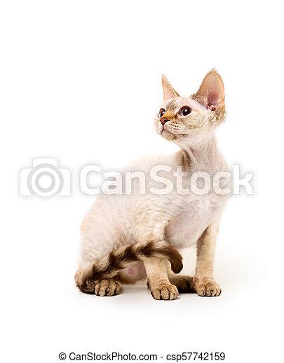 Rex Devon Kot Rex Przeciw Kot Devon Przedstawianie Tło Biały