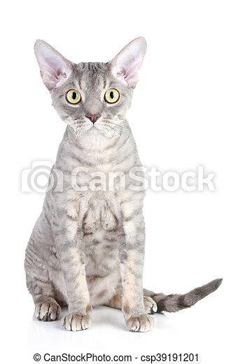 Rex Hodować Devon Kot Rex Posiedzenie Hodować Kot Devon Tło