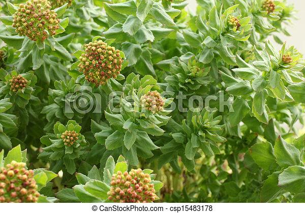 Rhodiola rosea - csp15483178
