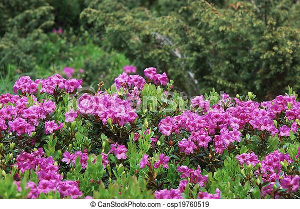 rhododendron, buisson, fleurir - csp19760519