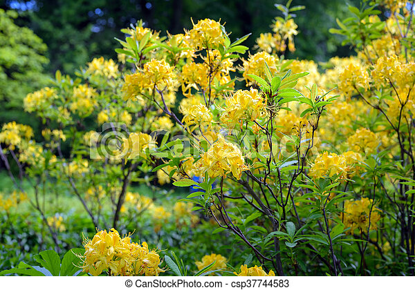 Yellow Rhododendron Bush Flower In Summer Garden