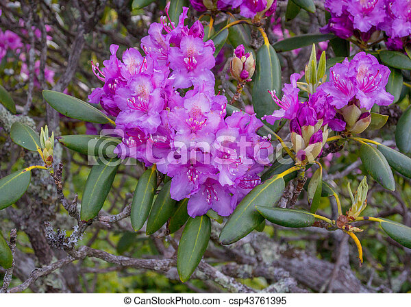 Rhododendron flowers bloom in late spring in appalachian mountains rhododendron flowers bloom in late spring csp43761395 mightylinksfo