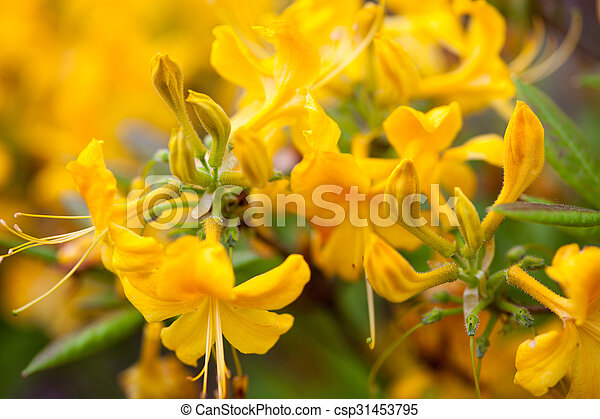 Rhododendron Yellow Flowers Yellow Flowers Of Rhododendron Shrub