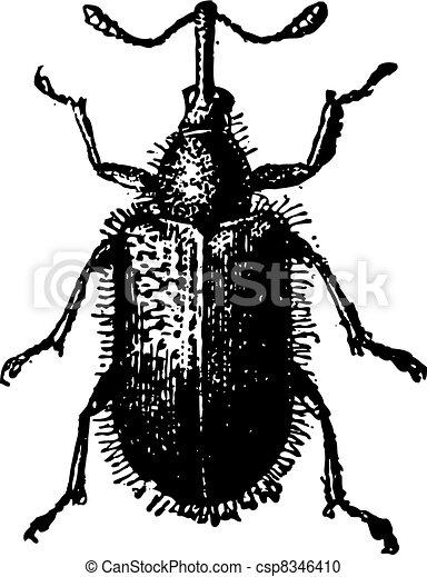 Rhynchites Beetle isolated on white, vintage engraving. - csp8346410