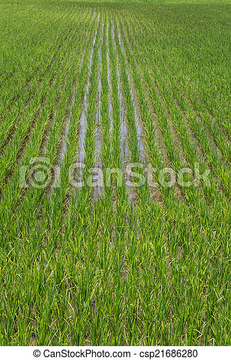 Rice field green landscape background - csp21686280