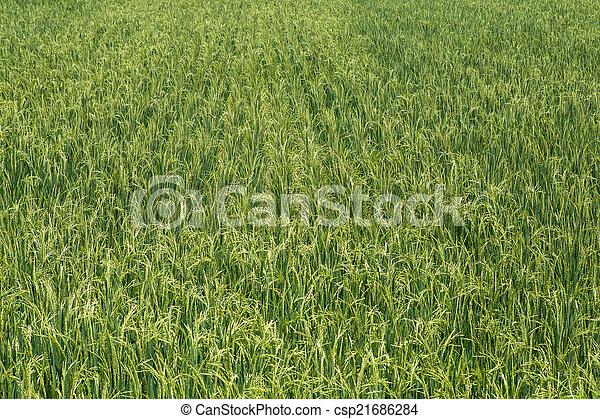 Rice field green landscape background - csp21686284