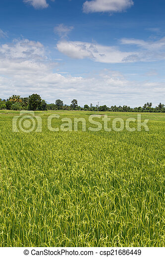 Rice field green landscape background - csp21686449