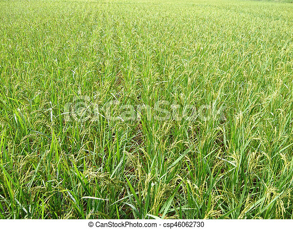 Rice field in the morning - csp46062730