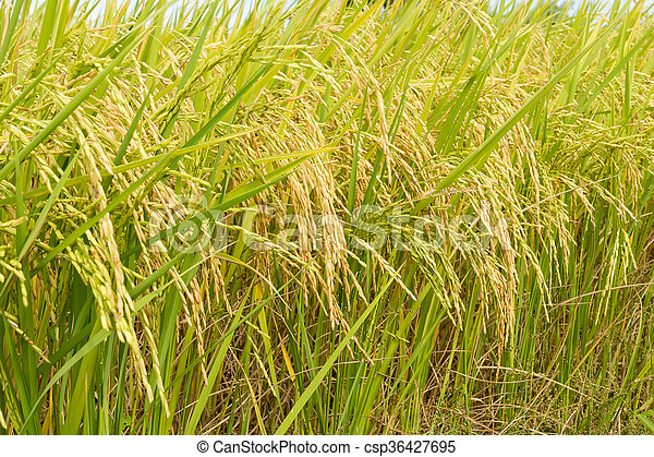 rice field ready for harvest - csp36427695