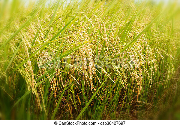 rice field ready for harvest - csp36427697