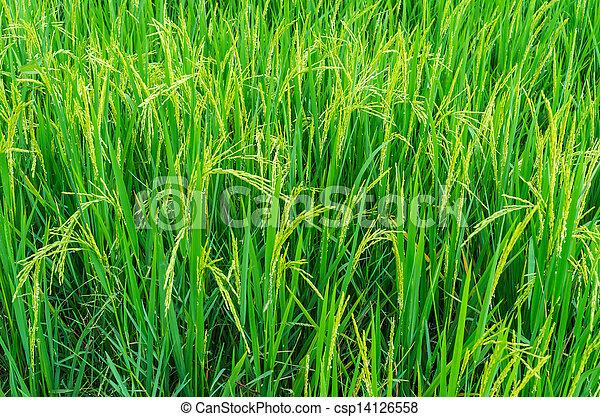 Rice field - csp14126558